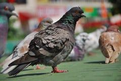 Pigeon avec l'assiette Photographie stock