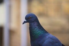 Pigeon avec le cou court et les factures minces de short Photos libres de droits