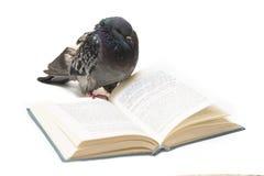 Pigeon avec le livre ouvert sur le blanc Photographie stock