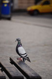 Pigeon ayant le temps gentil sinbathing Photographie stock
