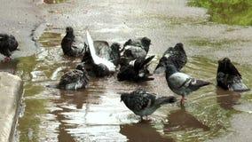 Pigeon ayant un bain après pluie banque de vidéos