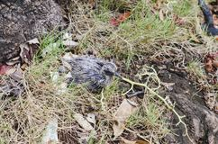 Pigeon baby dropped from the nest. A few days old royalty free stock images