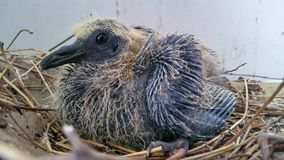 Pigeon baby. Nature. Now in cities. Trying to adjust stock photos