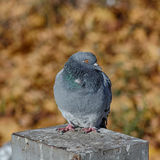 Pigeon on a background of autumn Stock Photo