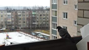 Pigeon on balcony of house stock video