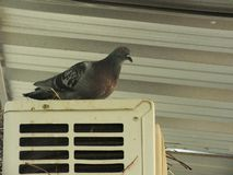 Pigeon on the balcony, window edge royalty free stock photos