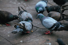 Pigeon Stock Photography