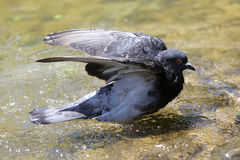 Pigeon bathing in hot weather Stock Images