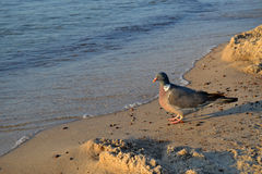 Pigeon on the beach. Pigeon resting on the beach stock photos