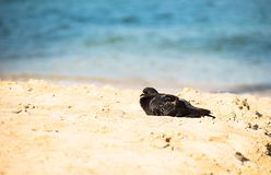 Pigeon on a beach. Stock Images