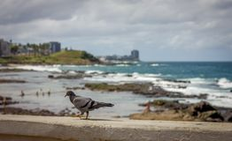 Pigeon and beach landscape, Salvador Bahia, Brazil. Stones and clounds royalty free stock photos