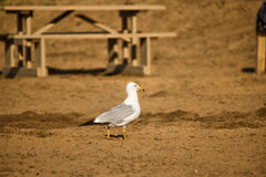 Pigeon on the beach. A pigeon standing on the beach with a picnic table in the background Royalty Free Stock Photo