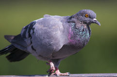 Pigeon with beautiful hackle feathers. A portrait of a pigeon with beautiful hackle feathers Royalty Free Stock Photos