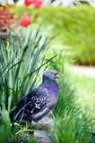 Pigeon in a beautiful spring garden. Beautiful pigeon in a spring garden stock photos