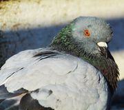 Pigeon and beauty Stock Photography