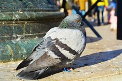 Pigeon and beauty, in Venice Royalty Free Stock Photo