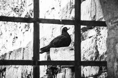 A pigeon behind the bars- unfreedom Stock Images