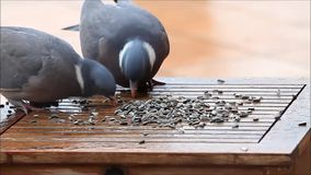 Pigeon, big, dove, feeding bird food, winter stock video
