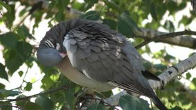 Pigeon stock video