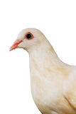 Pigeon,Bird. Closeup white dove brown Stock Photography