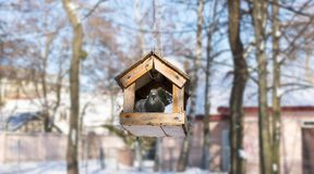 Pigeon at bird feeder house.  royalty free stock images