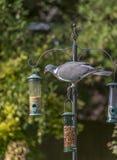 Pigeon on bird feeder Stock Photo