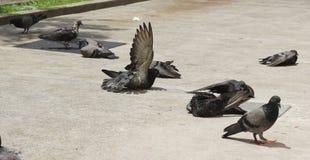Pigeon bird flock sun tan on concrete ground in diagonal line Royalty Free Stock Image