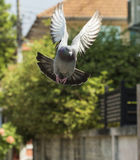 Pigeon bird flying in green garden Royalty Free Stock Images