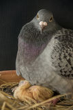 Pigeon bird hatching new born in home loft Stock Images