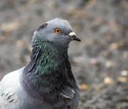 Pigeon bird head Royalty Free Stock Photos