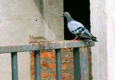 Pigeon Bird. Indian  wallpaper, Indian  background Royalty Free Stock Photo