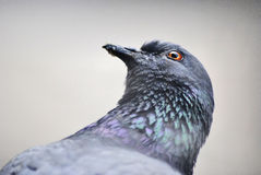 Pigeon bird Royalty Free Stock Photos