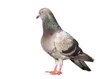 Pigeon bird isolated on white background Royalty Free Stock Photography
