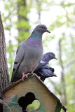 Pigeon bird in park forest Stock Image