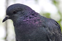 Pigeon bird in park forest Stock Photos