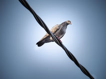 Pigeon bird is sitting on the Electrical powered cable Royalty Free Stock Photography
