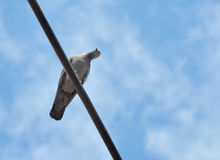 Pigeon bird is sitting on the Electrical powered cable Royalty Free Stock Image