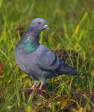 Pigeon. Bird are stand in green grass and looking someone. very beautiful and natural view royalty free stock photo