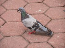 Pigeon Bird Standing on Cobblestone. In Batu Caves, Malaysia Royalty Free Stock Photography