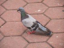 Pigeon Bird Standing on Cobblestone Royalty Free Stock Photography