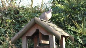 Pigeon on the bird table, walking around and watching carefully. Pigeon walking around and feeding from the Bird Table whilst keeping a careful eye out stock video
