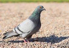 Pigeon bird walking Royalty Free Stock Images
