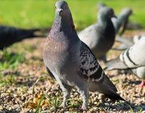 Pigeon bird walking Royalty Free Stock Photos