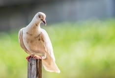 Pigeon bird Stock Photography