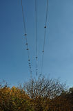 Pigeon birds autumn trees Royalty Free Stock Photography