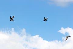 Pigeon birds on blue sky Stock Photo