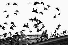 Pigeon birds in flight Royalty Free Stock Photography