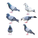 Pigeon birds isolated on white Stock Photo