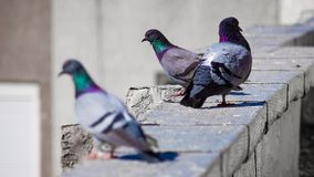 the pigeon stock image