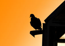 Pigeon black silhouette on roof. Royalty Free Stock Photo